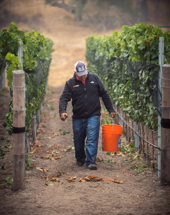 Spear Winery Owner & Vigneron Ofer Shepher at harvest time, photo by Bottle Branding.