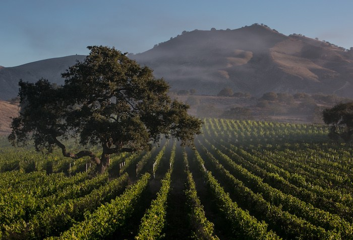 Zaca Mesa Vineyard, photo by George Rose, courtesy Zaca Mesa.