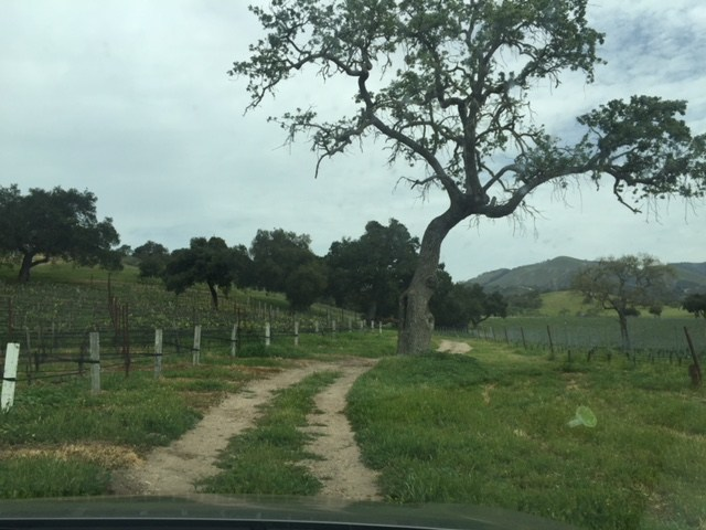 Zaca Mesa Vineyard, photo by Leslie Dinaberg.