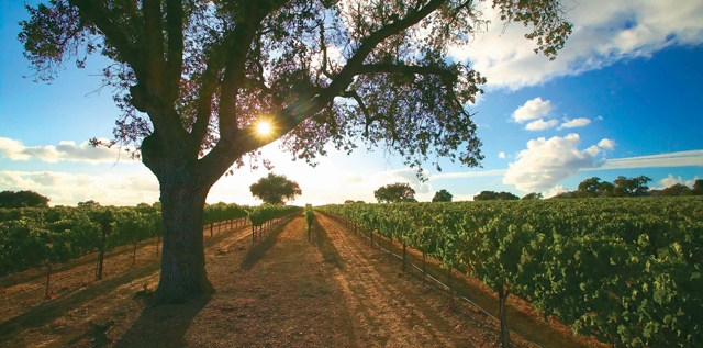 Rodney's Vineyard at Fess Parker Winery. Photo courtesy of the Parker Family.