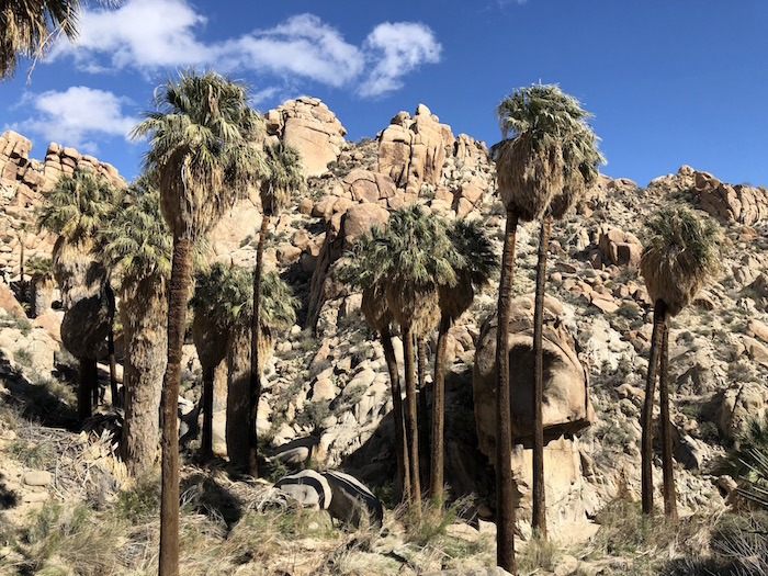 Discover local spots to explore, like Lost Palms Oasis in Joshua Tree National Park, at 50greatpubliclanddestinations.org. Photo by Deborah Williams.